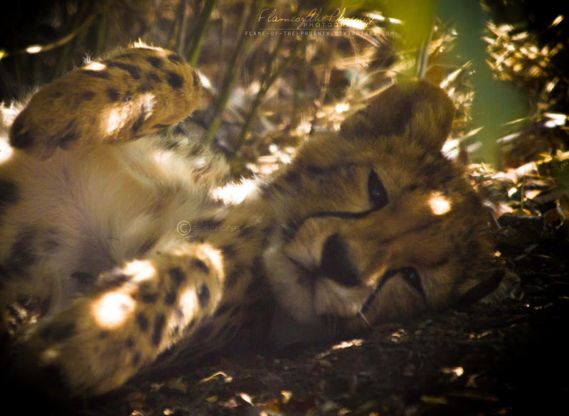 Cheetah Cub: Relaxing by Flame-of-the-Phoenix