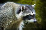 Raccoon: Focus