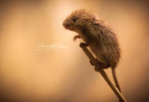 Harvest Mouse: Climb