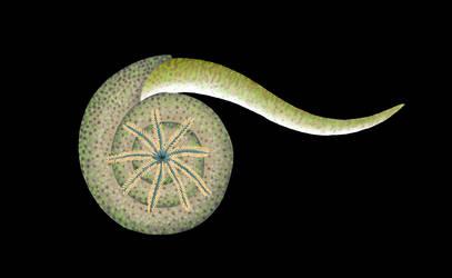 Snail fish