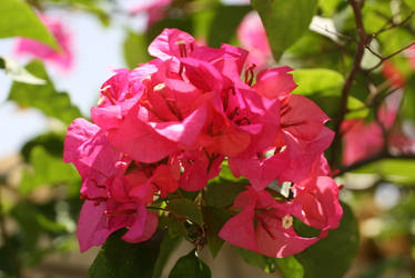 Bougainvilla Flowers II by alky-holic