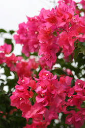 Bougainvilla Flowers III by alky-holic