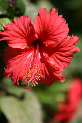 Gumamela Flower by alky-holic