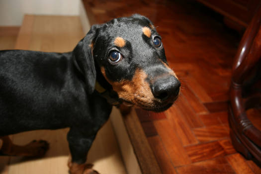 Juno the Doberdog