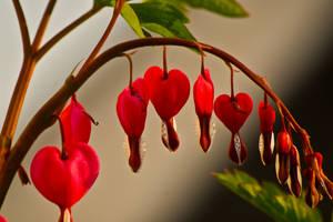 my bleeding heart by love-my-camera