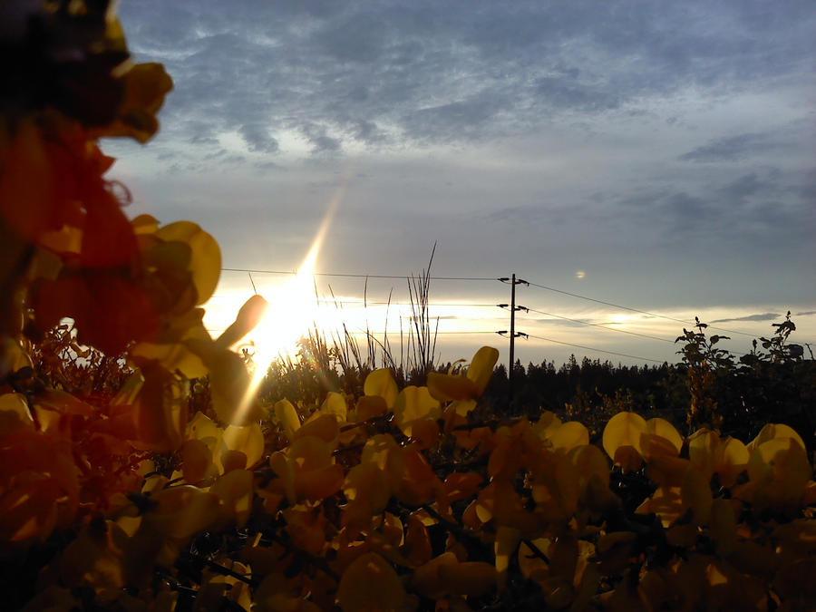 Scotch Broom Sunset 01 by SavageCharms