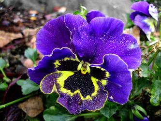 Misted Purple