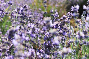lavender harvest by kincsesfuzet