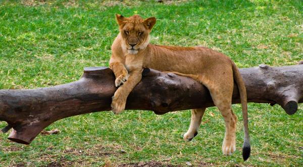 Lion by ellypse