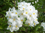 Solanum: A gift for Frida