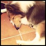 Sleeping Collie