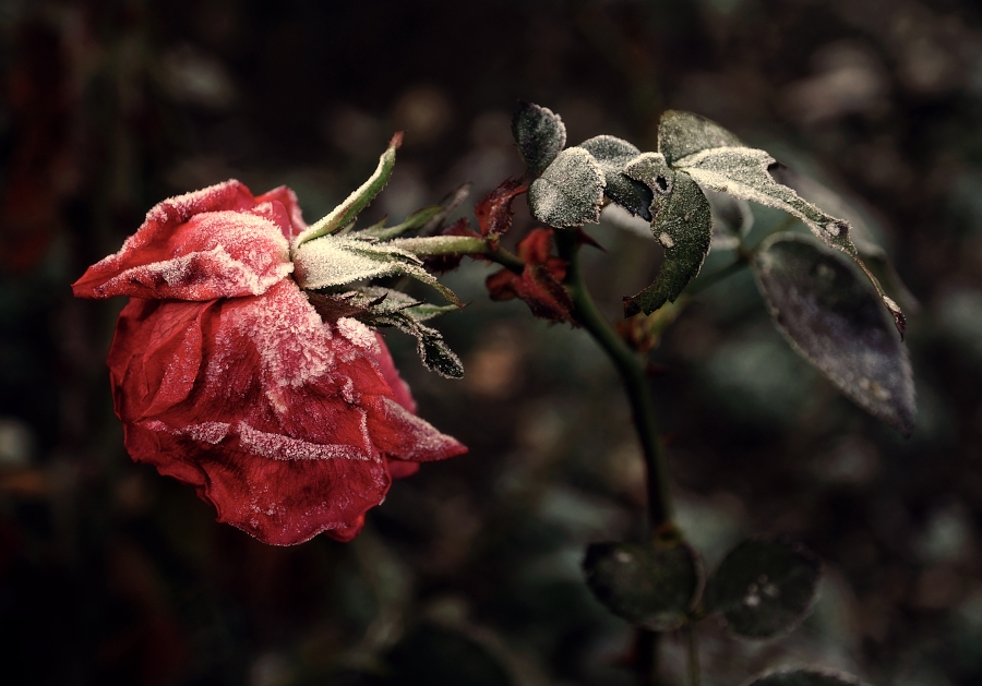 Rose Has Thorns Part 2, Winter Has Come Frozen_rose_by_barous-d4hnpfu