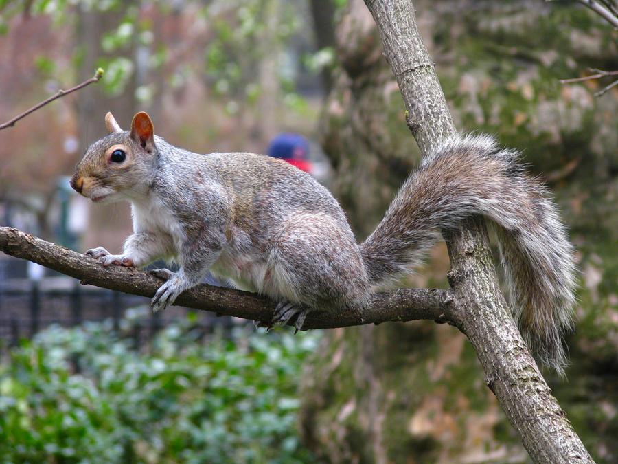 squirrel_by_llibllib-d3flon2.jpg