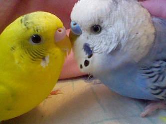 bird love by Pulliplover