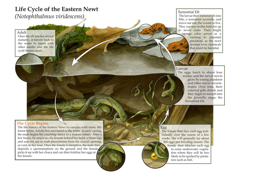 life cycle of the eastern newt by elizabethnixon on deviantart