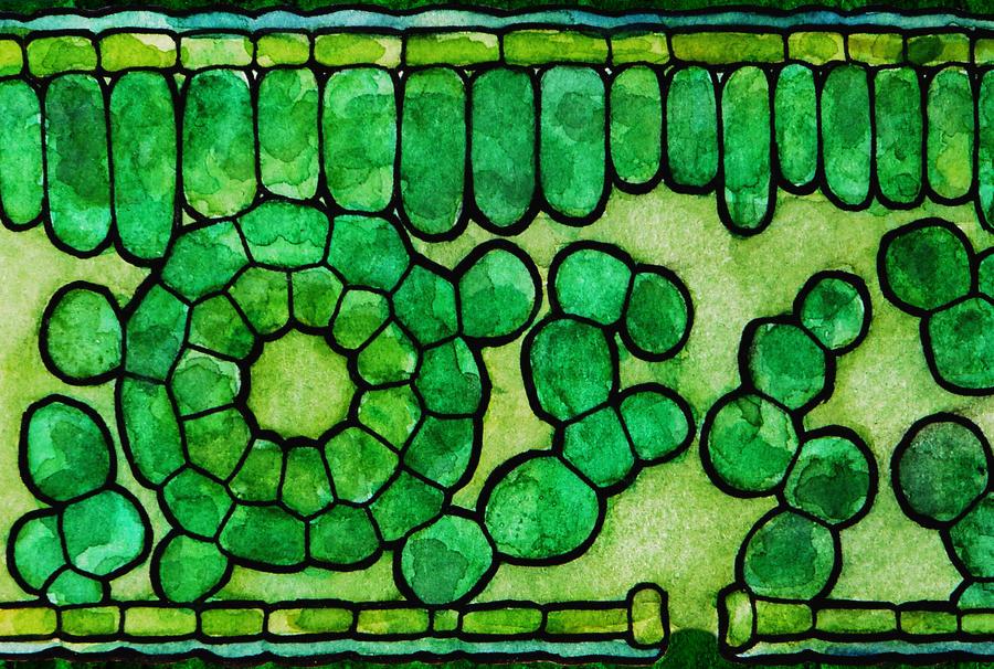 Stylized cross-section of leaf by elizabethnixon on DeviantArt  Stylized cross-...