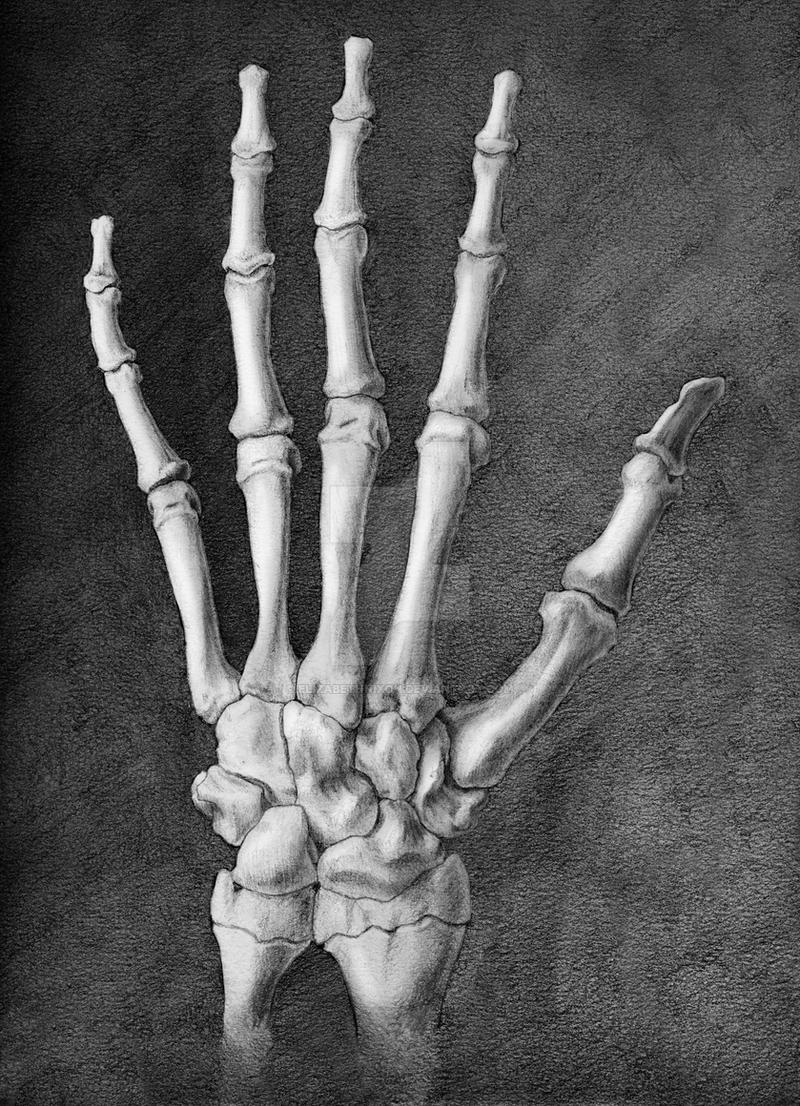 Dorsal Hand Skeleton by elizabethnixon on DeviantArt