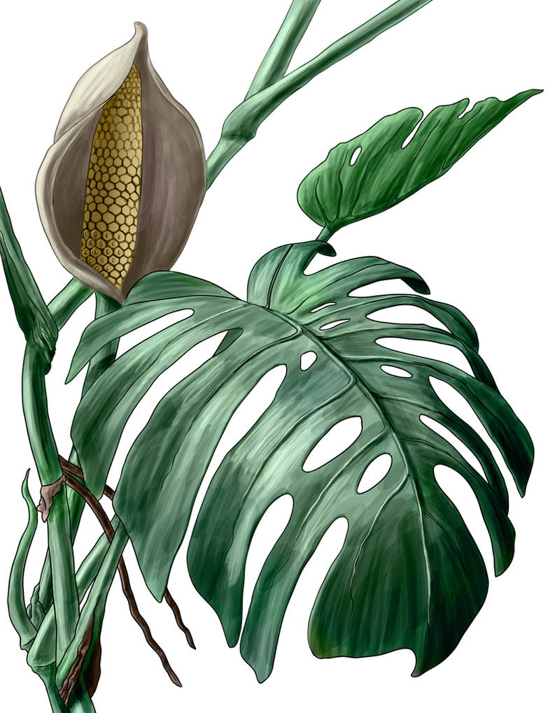 Monstera deliciosa by elizabethnixon