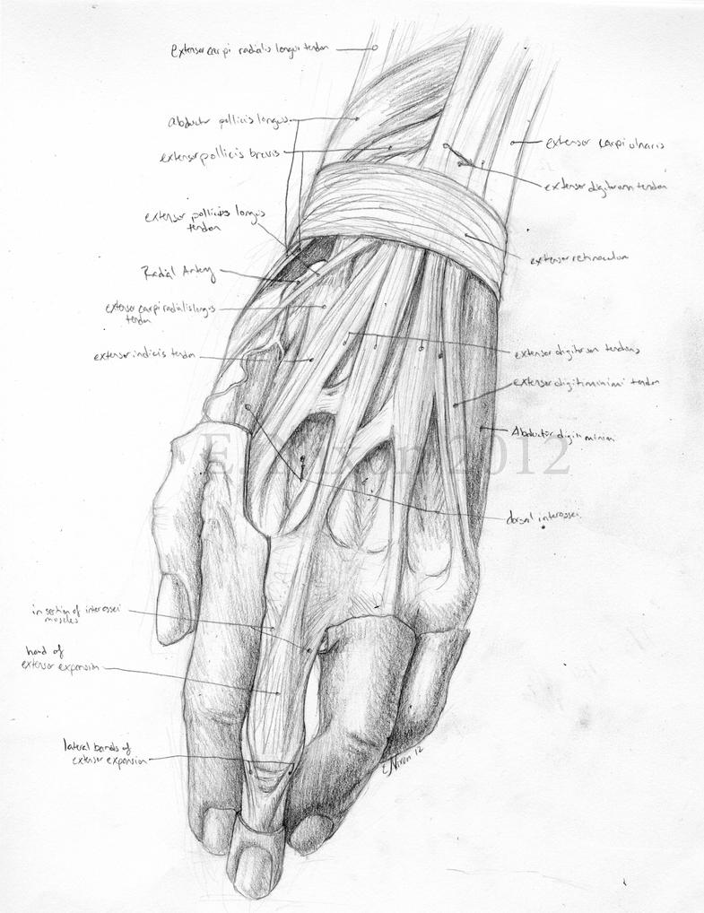 Anatomy Sketch - Dorsal Hand by elizabethnixon on DeviantArt