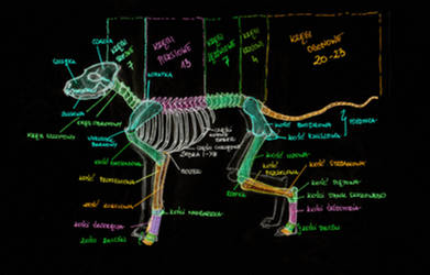 Dog Anatomy: Skelton by Yui-the-Echidna