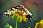 'Tiger Swallowtail'