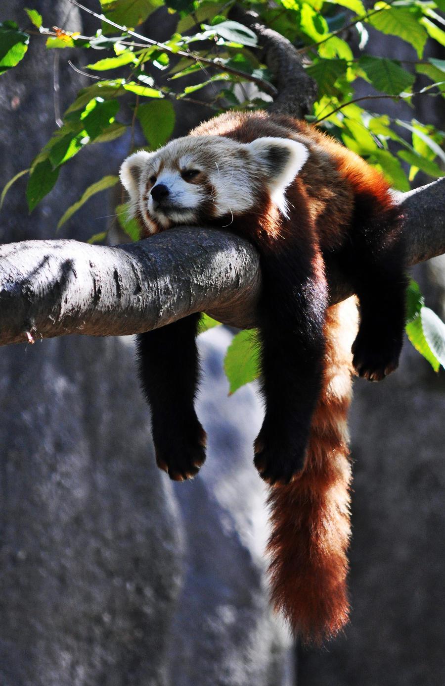 Lazy Panda by masscreation on DeviantArt