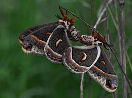 Mating Cecropias by masscreation