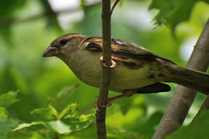 Female house sparrow by masscreation