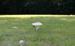 White Mushroom by jomy10