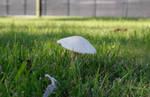 White Mushroom3