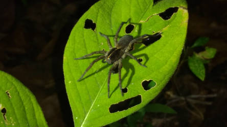 Rabid Wolf Spider Stock by jag140