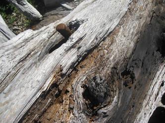 Driftwood Pierced