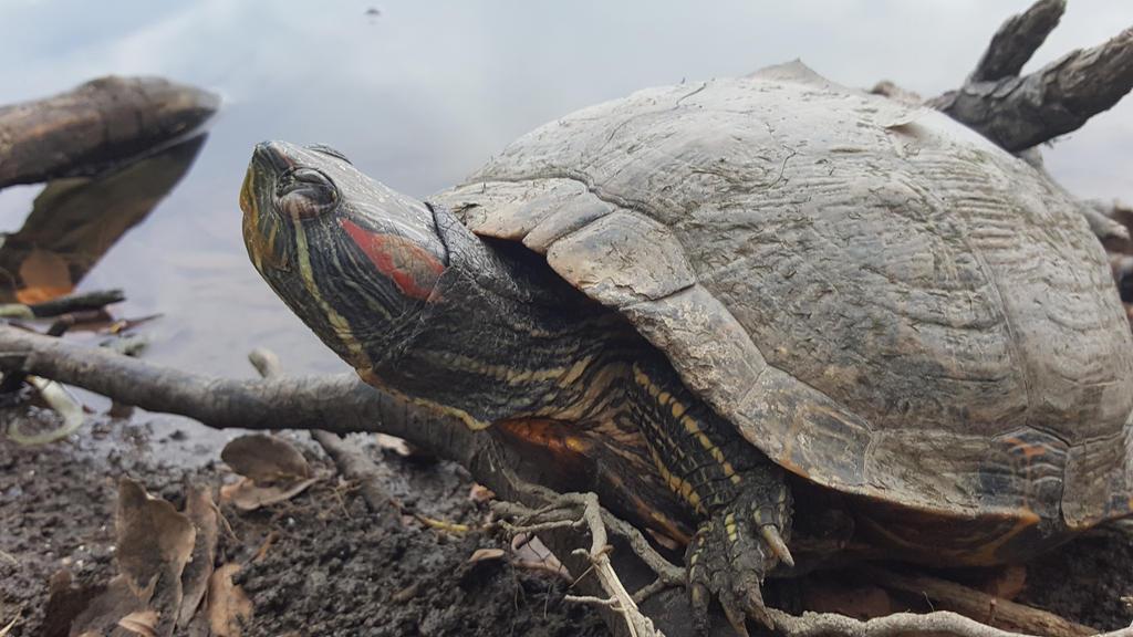 Turtle.  Mills  Pond, Austin, Tx  by KaylynnStanley1