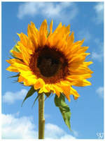 Sunflower and blue sky by moonduster