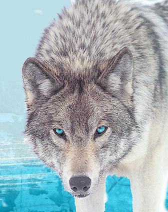 Ice Wolf by ScarletRainxX