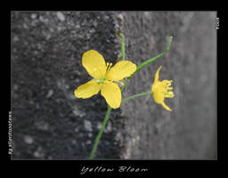 Yellow Bloom by Silentwaters