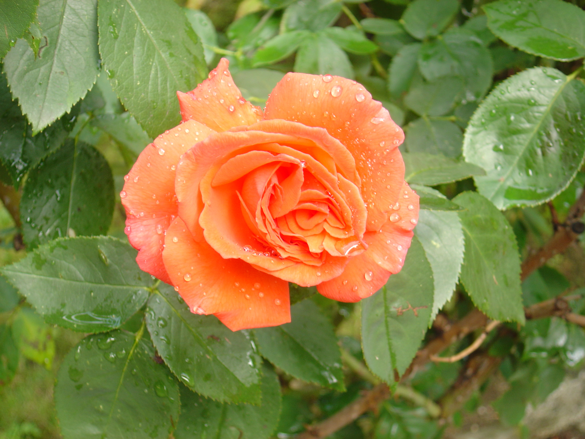 Stock - orange Rose by Silentwaters