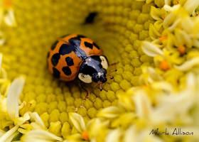 Harlequin ladybird by Mark-Allison