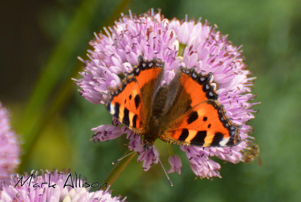 Tortoiseshell by Mark-Allison