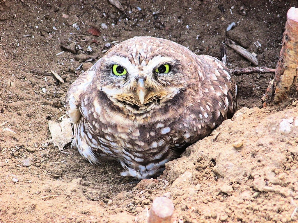 Pedestrian Owl by Germanicus-Fink