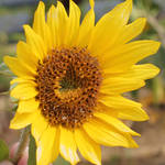 Sunflower by JPattonPhotography
