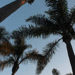 San Diego Palm Trees by JPattonPhotography