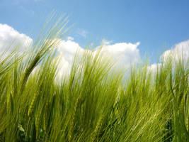 Wheat by Robke22