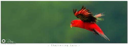 Chattering Lory by RemiGarciaPhoto