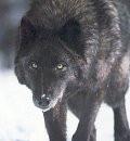 black wolf by CallistoTheWolf
