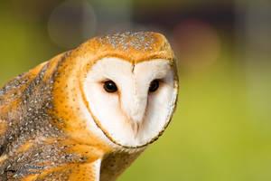 Barn Owl 2 by CasualGoshawk