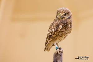 Burrowing Owl 2 by CasualGoshawk