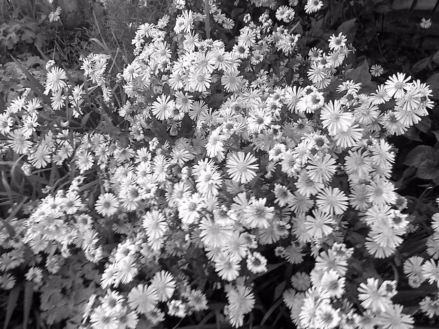 black and white daisies by lolg95 on deviantart