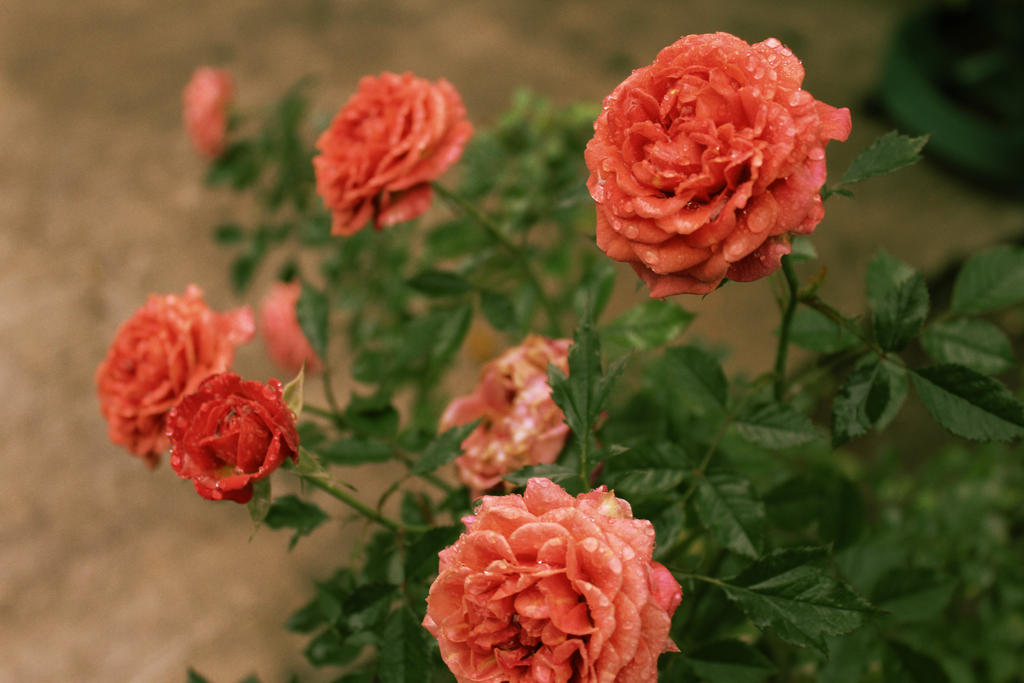 Flores Crossfading by juanjosilva
