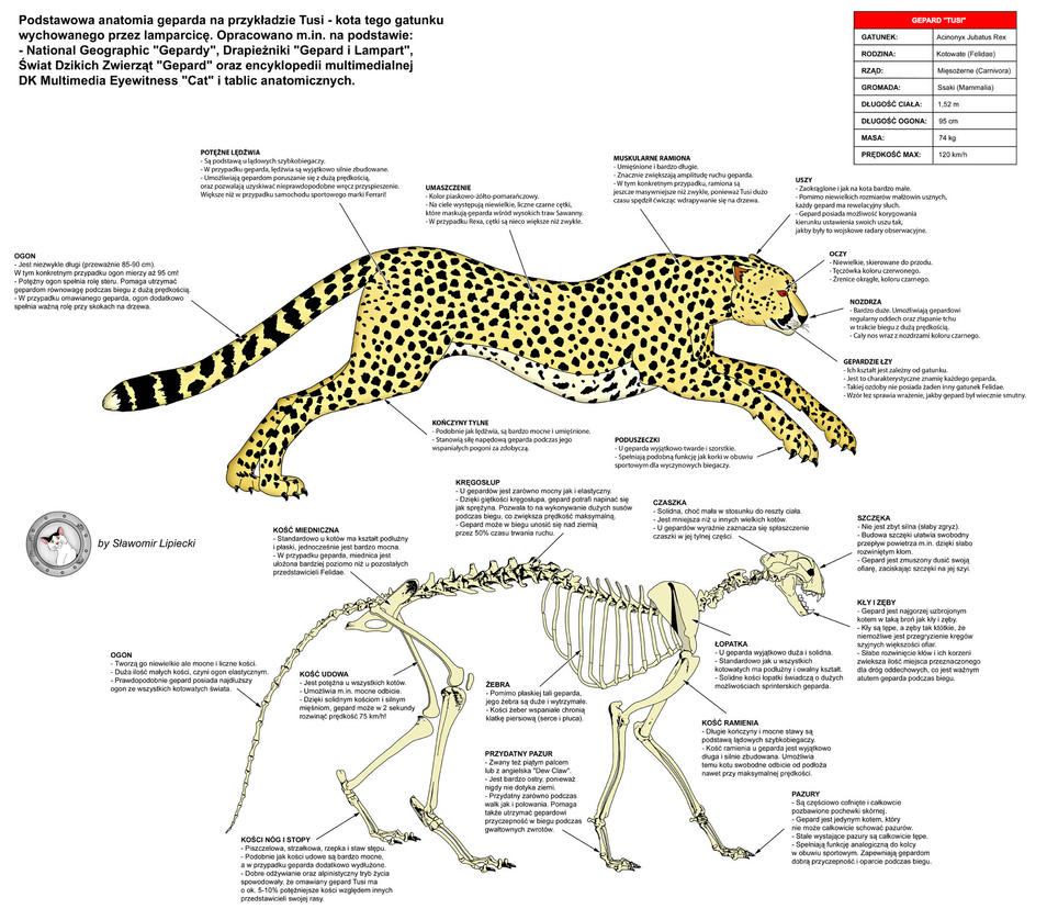 Cheetah - Anatomy by Lioness-Nala on DeviantArt